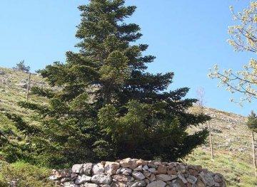 Elette le piante simbolo delle regioni italiane: per la Sicilia l'Abies nebrodensis