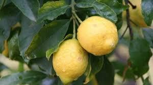 Limone dell'Etna Igp: l'agrume siciliano ottiene la certificazione