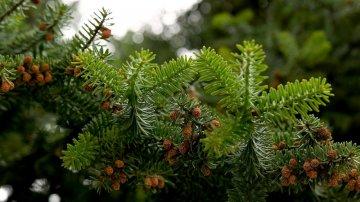 Abete dei Nebrodi, l'albero di Natale più prezioso del mondo