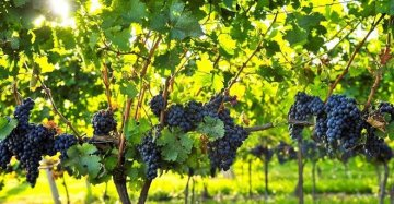 Cosmetici, creme e mangimi dagli scarti dell'uva: parte in Sicilia il progetto