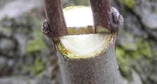 Corso di propagazione alberi da frutto tramite marza ed innesto